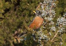 Amerykański rudzik w Jałowcowym drzewie Zdjęcia Royalty Free