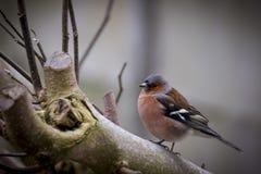 Amerykański rudzika ptak fotografia stock