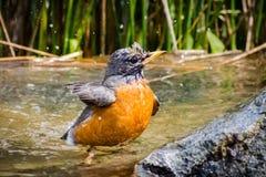 Amerykański rudzika Turdus migratorius kąpanie w płytkim basenie obrazy royalty free