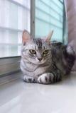 Amerykański shorthair kot jest przyglądający przedni Zdjęcia Royalty Free
