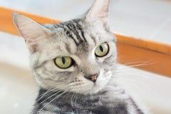 Amerykański shorthair kot jest siedzący i patrzejący naprzód Obrazy Stock