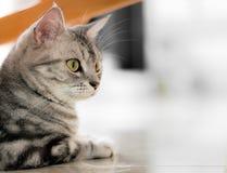 Amerykański shorthair kot jest siedzący i patrzejący naprzód z kopią Fotografia Royalty Free
