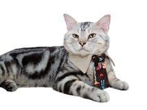 Amerykański shorthair kot z krawatem Odizolowywający na białym backgroun Zdjęcia Royalty Free