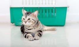 Amerykański shorthair kota sittig i patrzeć naprzód z odbitkowym spac Zdjęcia Royalty Free