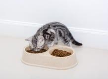Amerykański shothair kota łasowania jedzenie Odosobniony o biały tło w Fotografia Stock