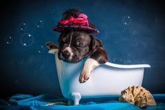 Amerykański Staffordshire Terrier bierze skąpanie Zdjęcia Royalty Free
