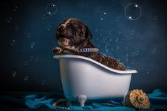 Amerykański Staffordshire Terrier bierze skąpanie Obrazy Royalty Free