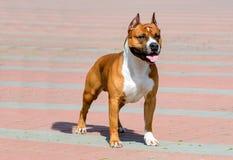 Amerykański Staffordshire Terrier w pełnej twarzy Obrazy Stock