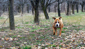 Amerykański Staffordshire Terrier w zielonej trawy gazonie Zdjęcia Stock