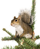 amerykański szary świerkowej wiewiórki wierzchołka drzewo zdjęcia stock