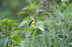 Amerykański szczygła ptak, Walton okręgu administracyjnego dziąsła obrazy royalty free
