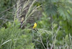 Amerykański szczygła ptak, Walton okręgu administracyjnego, Gruzja usa Obrazy Stock