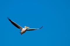 Amerykański Wielki Biały pelikan Zdjęcia Stock