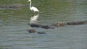 Amerykańskich aligatorów kłamstwo obok czapli zdjęcie wideo