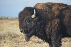 Amerykańskiego żubra bizon na prerii Zdjęcie Stock