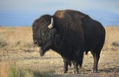 Amerykańskiego żubra bizon w profilu na prerii Obrazy Royalty Free
