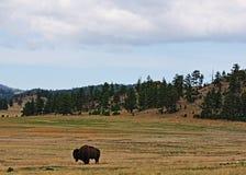 Amerykańskiego żubra bizon w Wiatrowym jama parku narodowym Fotografia Stock