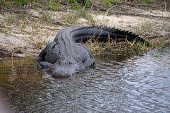 Amerykańskiego aligatora spacerować Zdjęcia Stock
