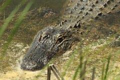 Amerykańskiego aligatora zakończenie up Obrazy Royalty Free