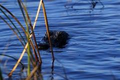 Amerykańskiego krokodyla przybycie prowadzić dochodzenie my Zdjęcia Royalty Free