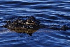 Amerykańskiego krokodyla przybycie prowadzić dochodzenie my Fotografia Stock