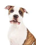 Amerykańskiego Staffordshire Terrier Psiej głowy strzał Zdjęcie Stock