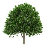 amerykańskiego wiązu odosobniony drzewny biel Obraz Royalty Free