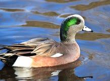 Amerykańskiego Wigeon dopłynięcia kaczka Obrazy Royalty Free