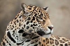 ameryka Krzak wspinaczki centralnego jaguara droughty Moscow żyje northem zajmuje często ponad onca panthera fotografujemy bogaci Obrazy Royalty Free