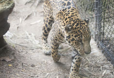 ameryka Krzak wspinaczki centralnego jaguara droughty Moscow żyje northem zajmuje często ponad onca panthera fotografujemy bogaci Zdjęcie Stock
