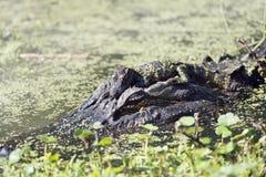 amerykańscy aligatorów Obraz Royalty Free