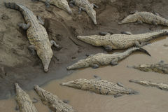 amerykańscy krokodyle Zdjęcie Royalty Free