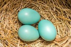 Amerykańscy rudzika ` s jajka i gniazdeczko obrazy royalty free