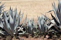 Amerykańska aloes agawa americana jako pola ogrodzenie Zdjęcia Stock