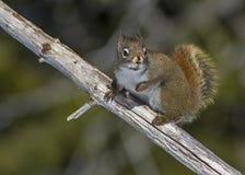 amerykańska czerwona wiewiórka Zdjęcia Stock