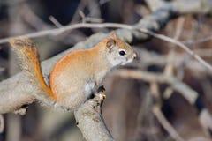 amerykańska czerwona wiewiórka Zdjęcie Royalty Free