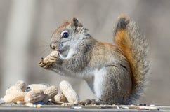 amerykańska czerwona wiewiórka Obraz Stock