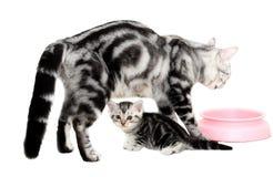 Amerykańska shorthair kota rodzina Zdjęcia Royalty Free