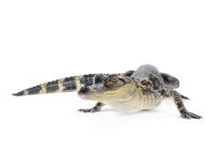 Amerykański aligator Zdjęcia Stock