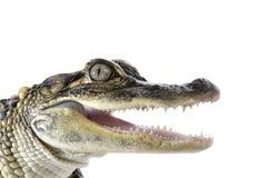 Amerykański Aligator - Aligator Mississippiensis Obraz Stock