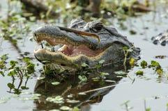 Amerykański aligator, (aligatora mississippiensis) Zdjęcia Royalty Free