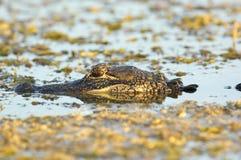 Amerykański aligator (aligatora mississippienus) Zdjęcie Stock