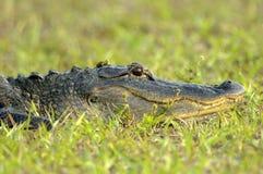 Amerykański aligator (aligatora mississippienus) Obraz Royalty Free