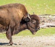 Ameryka?ski bizon zna? jako ?ubr, Bos ?ubr w zoo obrazy stock