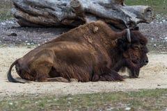Ameryka?ski bizon zna? jako ?ubr, Bos ?ubr w zoo zdjęcia royalty free