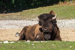 Ameryka?ski bizon zna? jako ?ubr, Bos ?ubr w zoo obraz royalty free