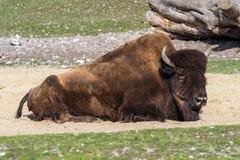 Ameryka?ski bizon zna? jako ?ubr, Bos ?ubr w zoo zdjęcia stock