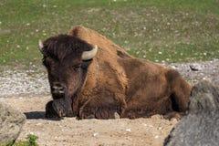 Ameryka?ski bizon zna? jako ?ubr, Bos ?ubr w zoo zdjęcie stock