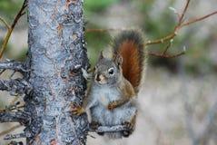 amerykański brzuch chrobot jego czerwona wiewiórka Zdjęcia Stock