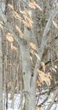 Amerykański Bukowy drzewo w zimie Zdjęcie Royalty Free